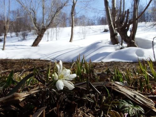 primula snowdrop anemone amur