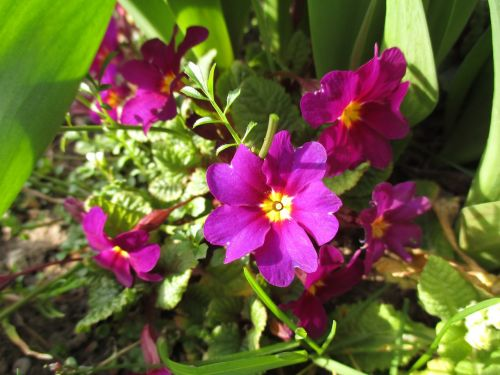primula prymule flowers