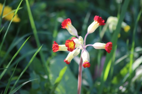 primula officinalis red  hello  flowers