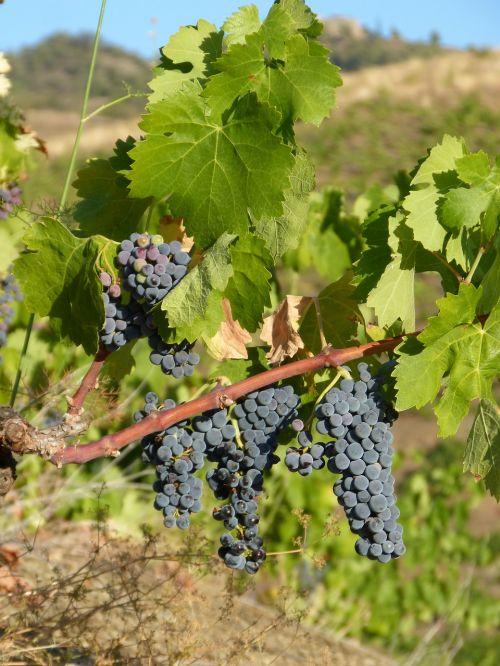 priorat vineyard vine
