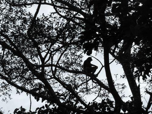 proboscis monkey silhouette borneo