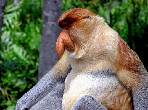 proboscis monkey primate monkey
