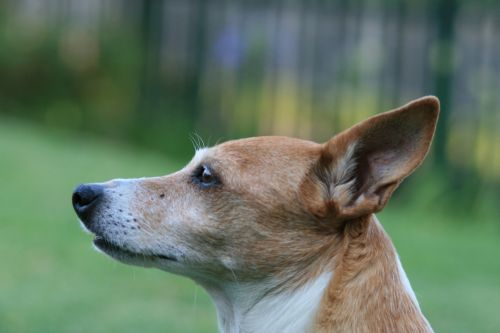 Profile Of Jack Russell Terrier