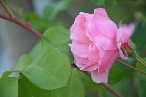 profile of pink pink rosebush