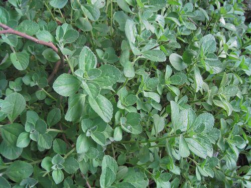 žalias, lapai, sodrus, žalias žalias augimas