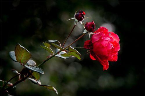 properties rose flower