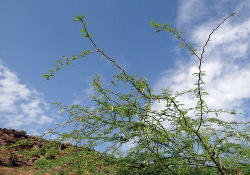 prosopis juliflora plant invasive