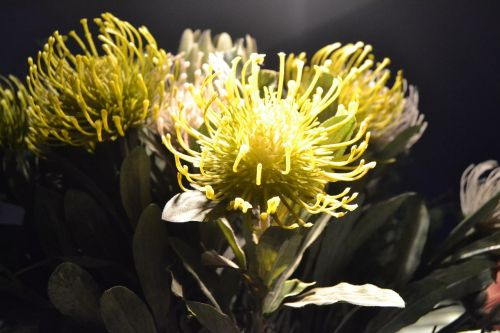 protea flora exotic
