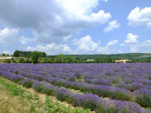 provence france lavender