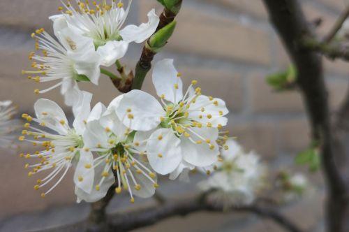 pruimbloesem blossom white