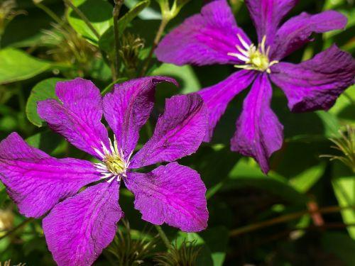 prune clematis jackmanii