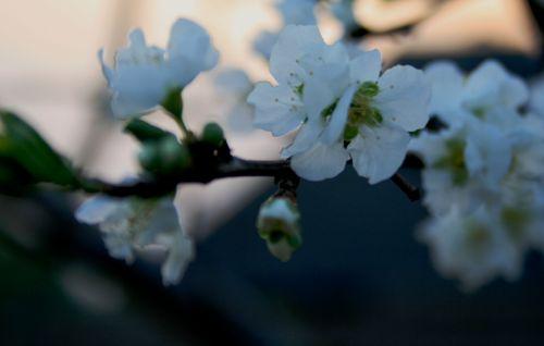Prune Blossoms