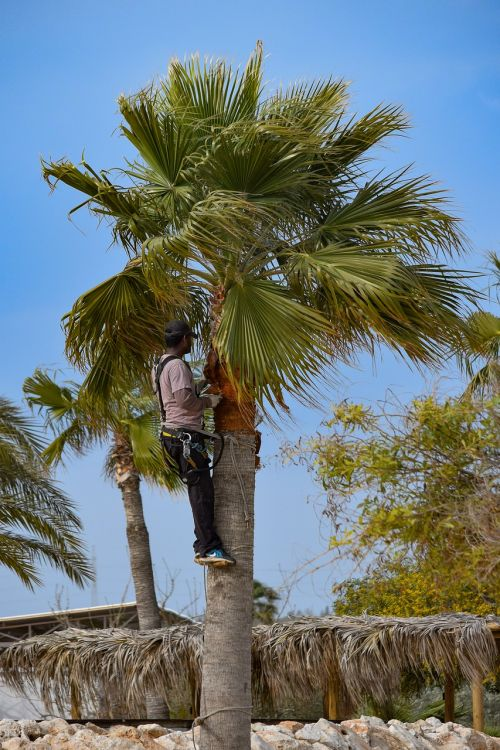 pruning prune palm tree