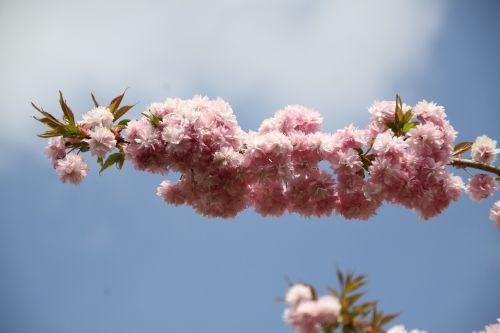 prunus branch flowery branch