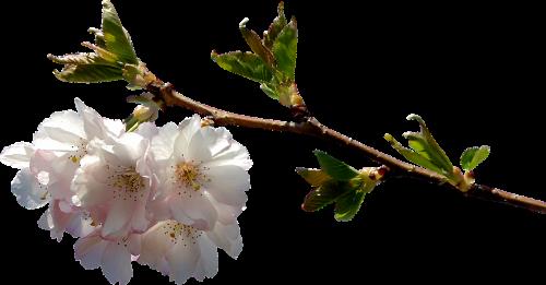 prunus branch png