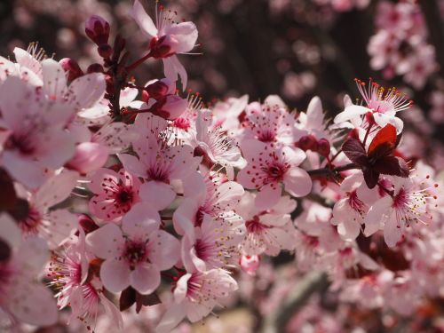 prunus flower spring