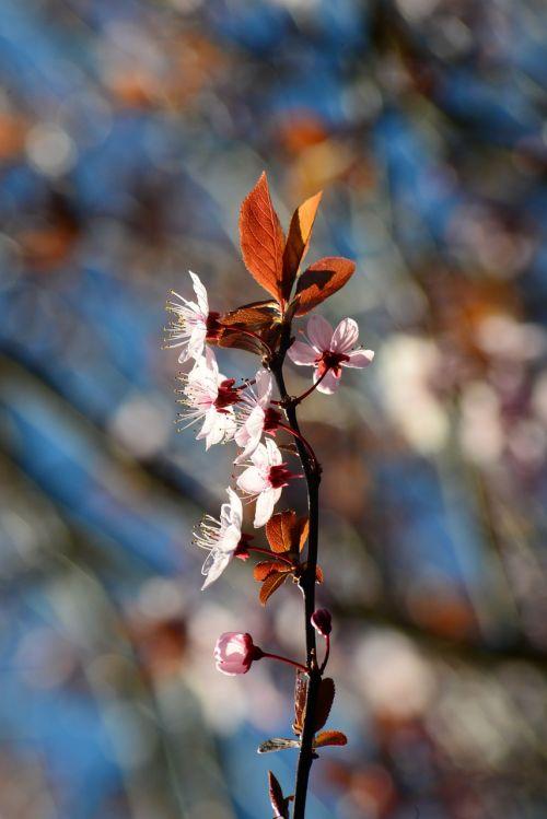 prunus plum cherry chinese plum