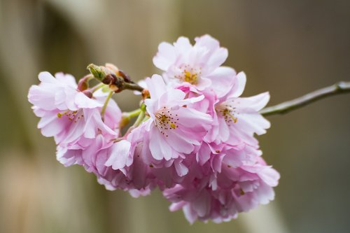 prunus  flower  nature