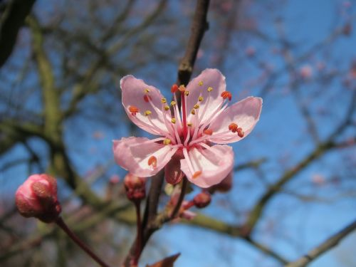 prunus domestica tree blossom