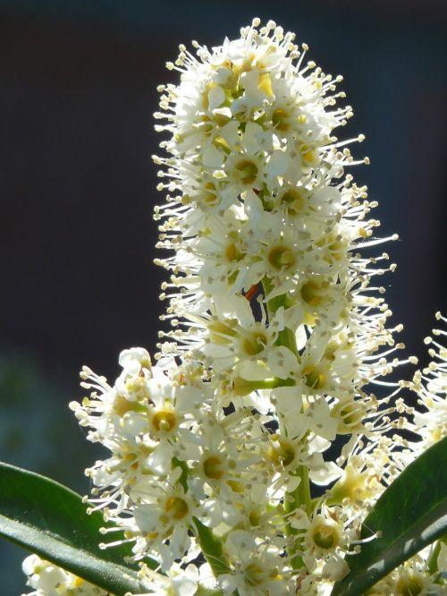prunus laurocerasus bush blossom