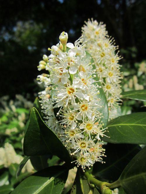 prunus laurocerasus cherry laurel common laurel