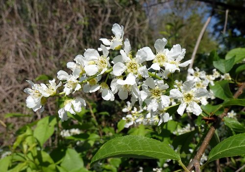 prunus padus  bird cherry  flower