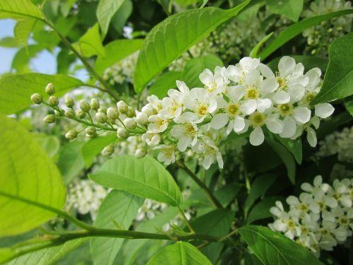 prunus padus bird cherry hackberry