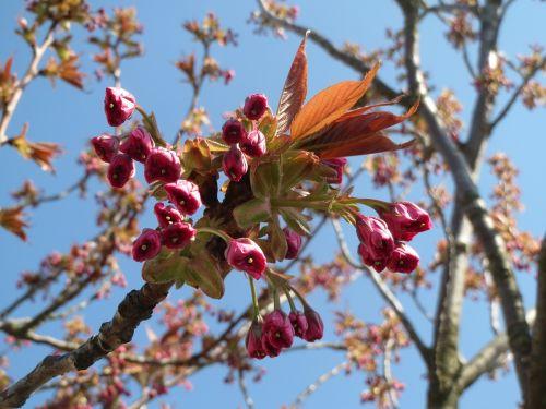 prunus serrulata japanese cherry hill cherry
