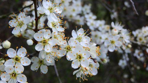prunus spinosa blackthorn spring flowers