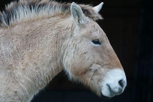 przewalski horse wild horse