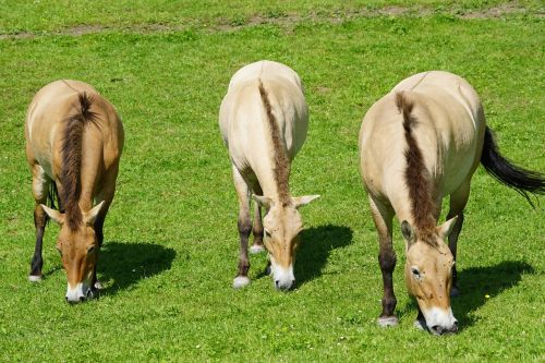 przewalski wild horse horse
