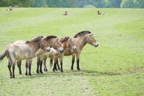 przewalski horses  horses  horse farm