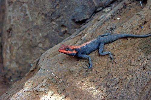 psammophilus dorsalis peninsular rock agama lizard