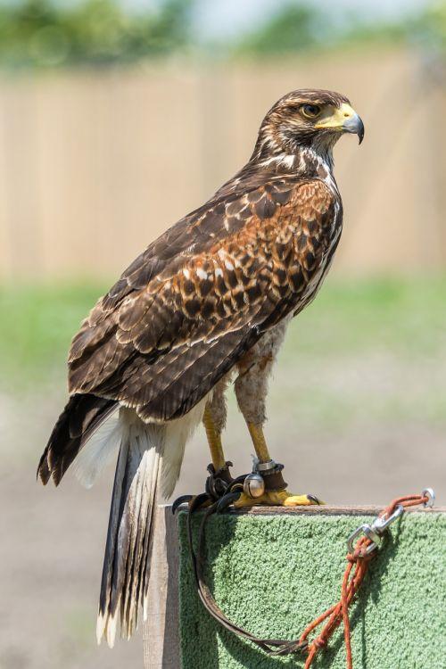 ptak predator animal