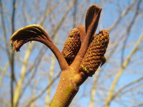 pterocarya fraxinifolia,caucasian wingnut,caucasian walnut,sapling,sprout,macro,plant,flora,botany