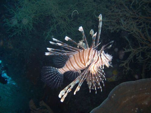 pterois fish lionfish