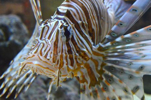pterois lionfish lion