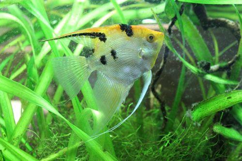 pterophyllum scalare sunfish fish