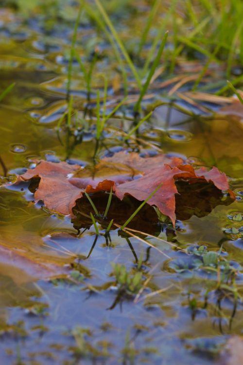 puddle leaf autumn