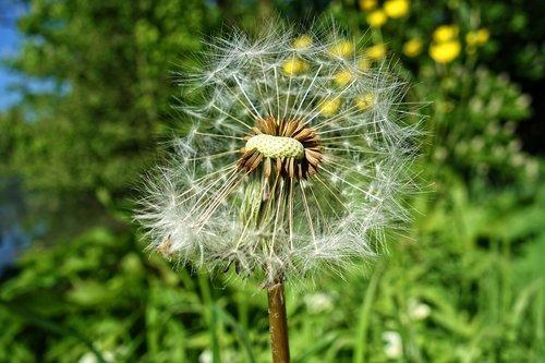 puffball  dandelion  dandelion puffball