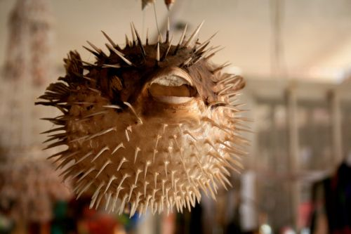 puffer fish,mexico,crafts,dissected,skeleton,animal,traditional,beach,sea,decoration