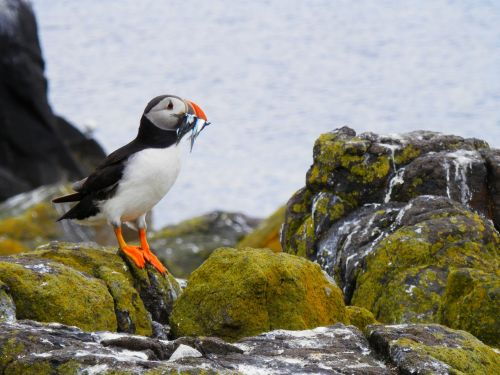 puffin seabird nature
