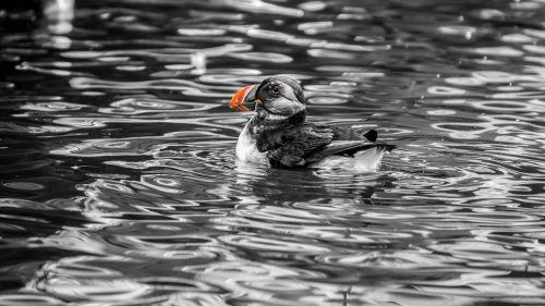 puffin atlantic animal world
