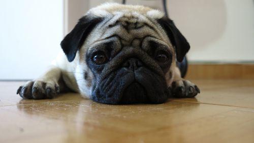 pug dog cute