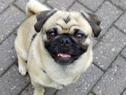 pug purebred dog beige