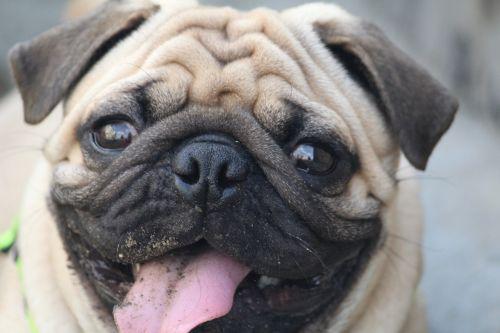 pug tasting mud round eyes