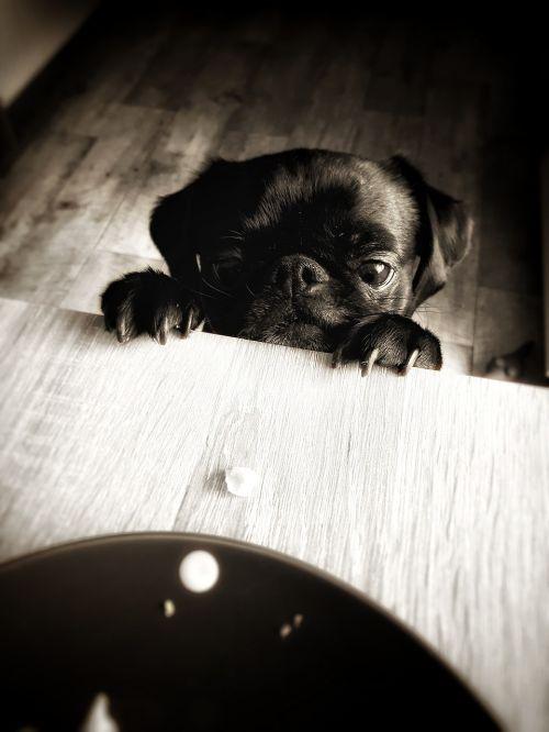 pug cheeky sweet
