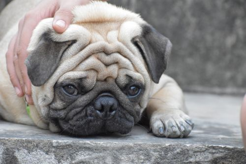 pug doggy innocence