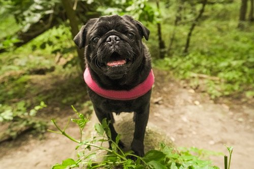 pug  pug in the forest  black pug