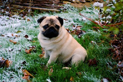pug sorrow snow